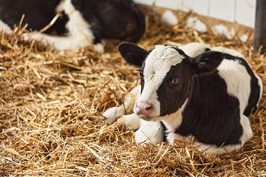 Number Of Dairy Farms In The U S The Number Of Cows Per Herd Is On The Rise